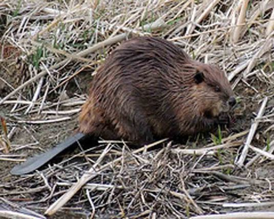 Beaver01