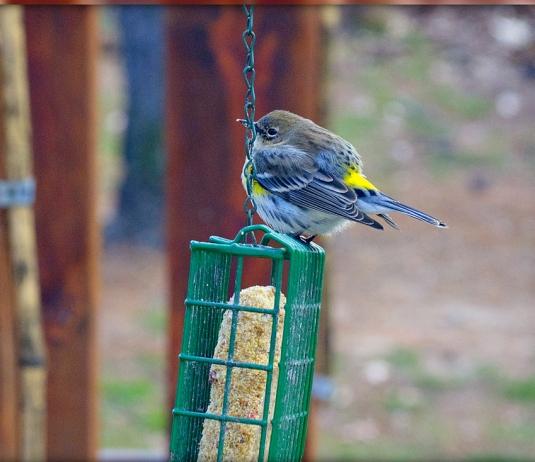 chickadee and goldfinch combo