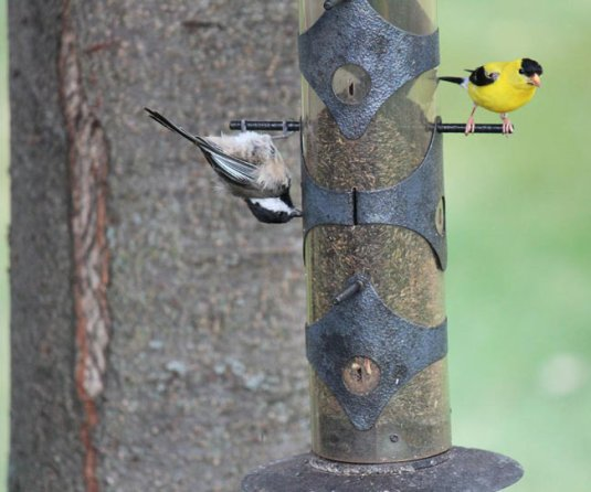 upsidedown goldfinch