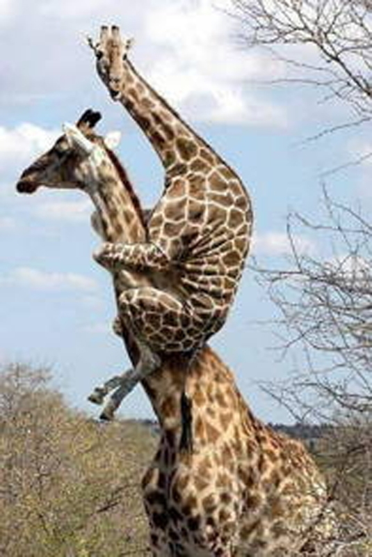 Giraffe 0n Giraffe