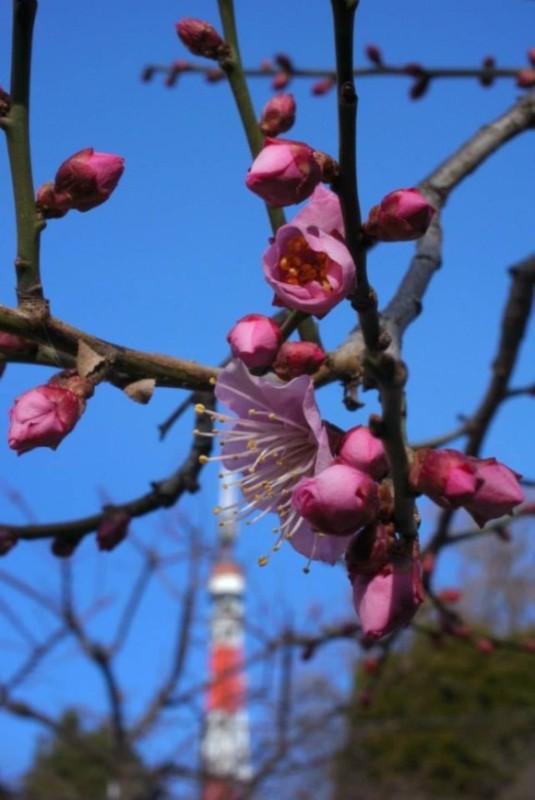 tsubomiSpringShootscherry blossoms