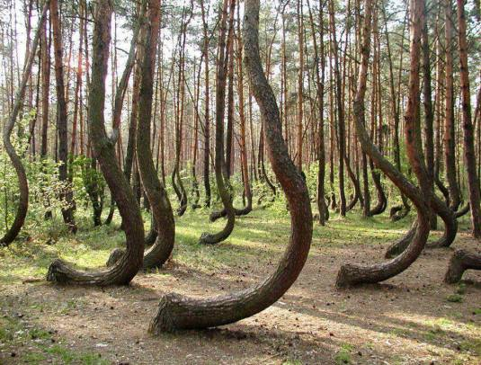The Crooked Forest in Poland