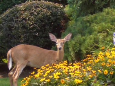 Deer_Browsing