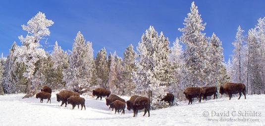 bison-snow
