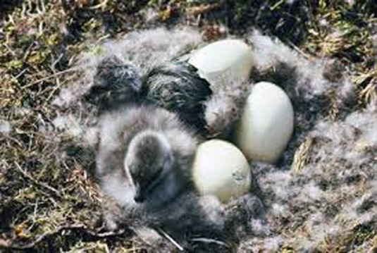 Geese Hatching