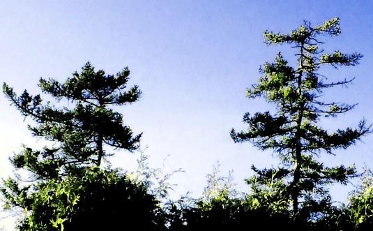 Maine TreesFresco April12,2015