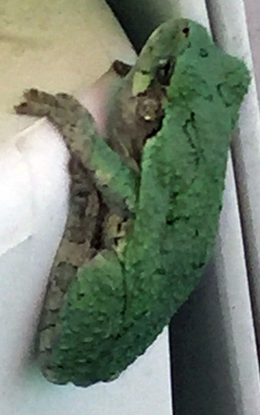 tree frog on deck 5-23-15