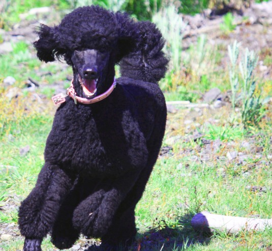 King SizeTherapy Dog from Australia: Lily