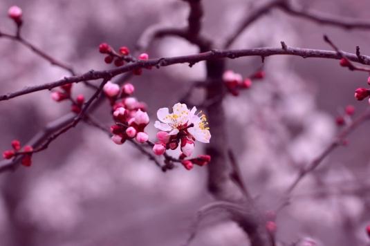cherry-blossom-flowers-branch-petals-purple-pink-background