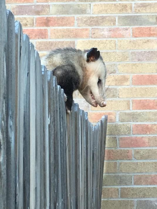 OpossumPlays Dead