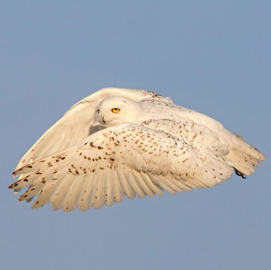 Snowy Owl Lift-off
