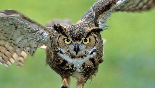 owl_horned