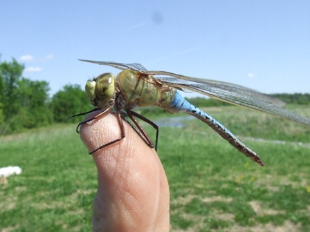 dragonfly and damselflies @ Audubon Society , Austerlitz, NY May 19, 2014