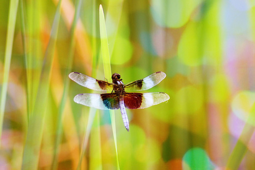 Dragonfly Wings by Seth Snap