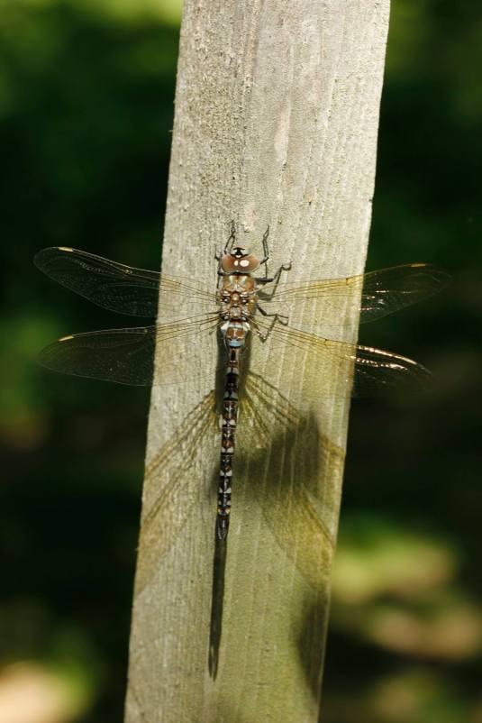 dragonflyfromBuffy
