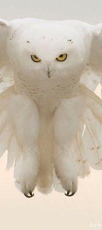 owl 30