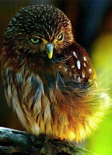 owl 31