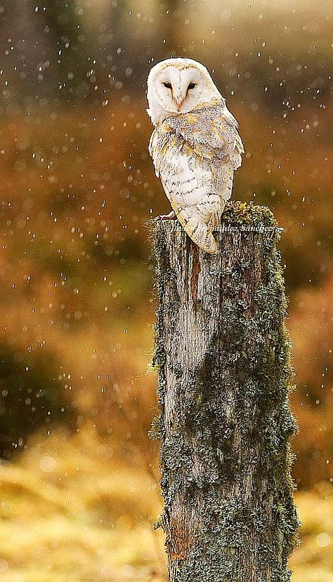 owl 32