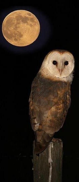 owl 33