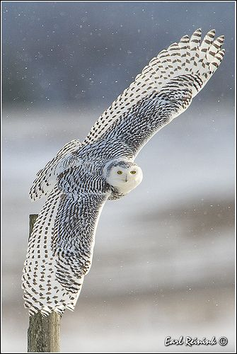 owl 34