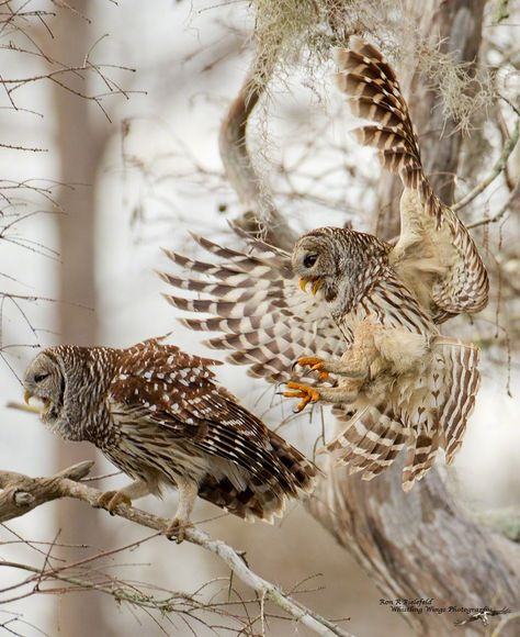 owl 35