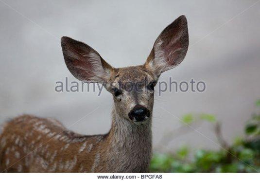 closeup-of-baby-deer-with-big-ears-bpgfa8