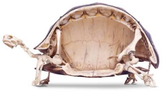 turtleskeleton